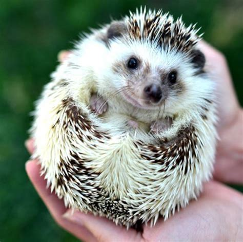 hedgehogs 7 pet fads through the decades mnn mother nature network