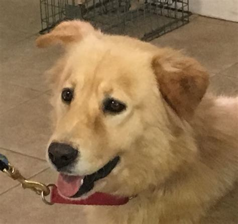 golden retriever puppies for adoption in ny view ad golden retriever for adoption new york calverton usa