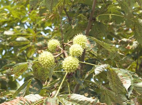 prickly spiny fruit tree green and thorny chestnut fruit on branch stock photo
