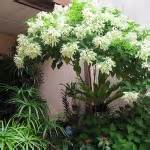 Bibit Tanaman Nusa Indah Putih tanaman nusa indah putih white mussaenda bibitbunga