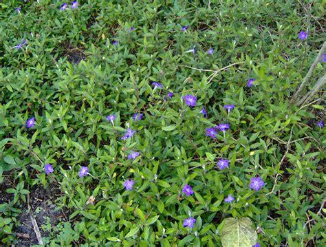 ruellia squarrosa prostrate petunia quot blue shade quot ps