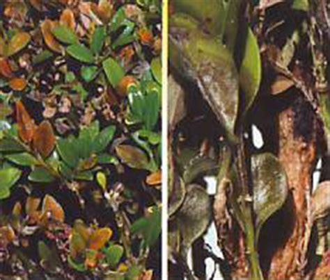 Buchsbaum Krankheiten Bek Mpfung 3380 by Buchsbaum Braune Bl 228 Tter Hilfe Mein Buchsbaum Bekommt