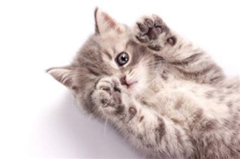 why do cats knead 5 fun reasons catster