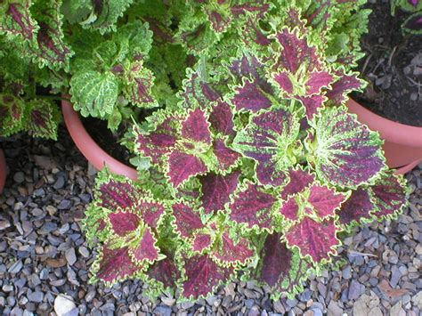 belize the plants coleus