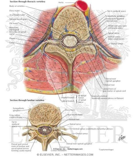 Spinal Column Cross Section by Spinal Column Cross Section Spinal Cord Anatomy Parts And Spinal Cord Functions Spinal Nerve