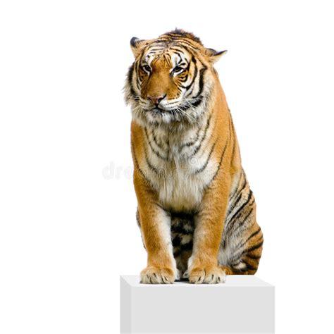 tigre seduta seduta della tigre immagine stock immagine di gambo