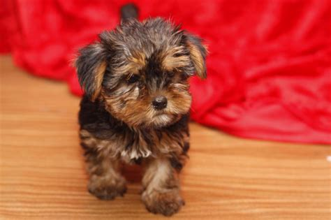 teacup yorkies for sale in ky yorkie puppies for sale petzlover