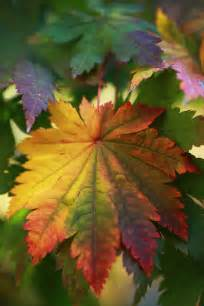 leaf colors the graceful gardener 187 my fall kaleidoscope fall color