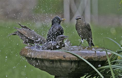 bird baths ornithology