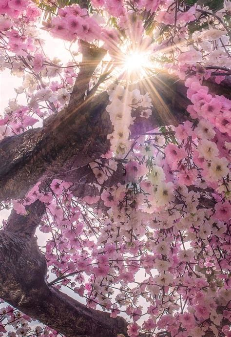 blossom trees best 20 pink trees ideas on landscaping trees
