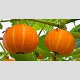 Pumpkins Growing   570 x 300 jpeg 51kB
