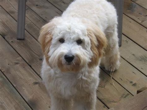 goldendoodle hair types haircuts for goldendoodles pictures search results