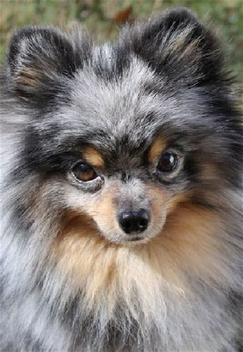 pomeranian merle blue merle pomeranian my poms galleries blue merle and i