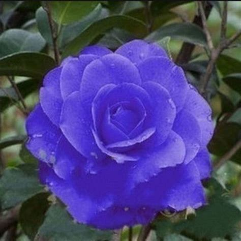 Cammelia Blue by Best 25 Camellia Flower Pictures Ideas On