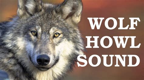 howling sounds gray wolf howling at the moon www pixshark images galleries with a bite