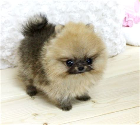 tiny micro teacup pomeranian sale baby sold to brenda in ca boutique teacup puppies