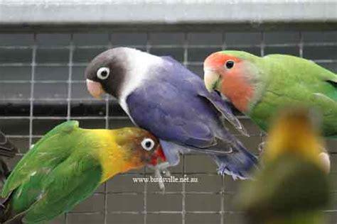 masked lovebird for sale sydney birdsville