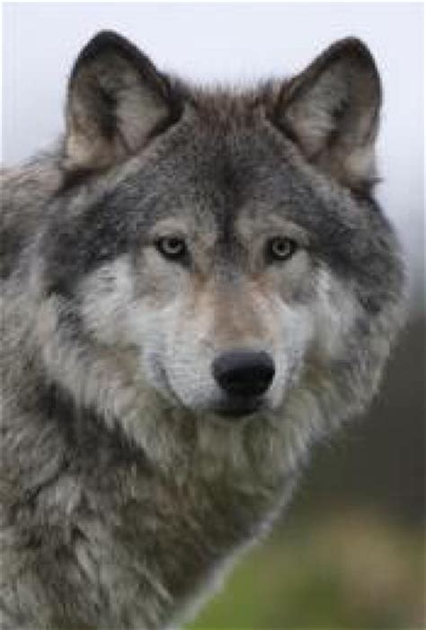 wolf for sale wolf dogs for sale wolf dogs uk wolf breeders want this for