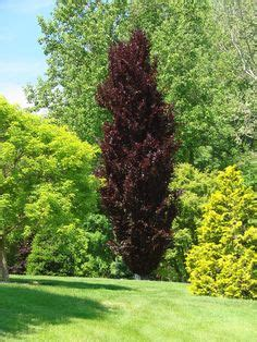 fagus sylvatica red obelisk dawyck purple beech