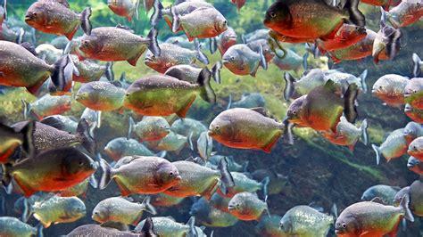 piranha animal planets   extreme wiki fandom