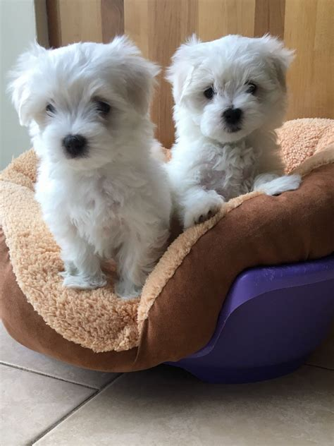 maltipoo puppies for sale in sc maltese puppies for sale bowman sc 192574 petzlover