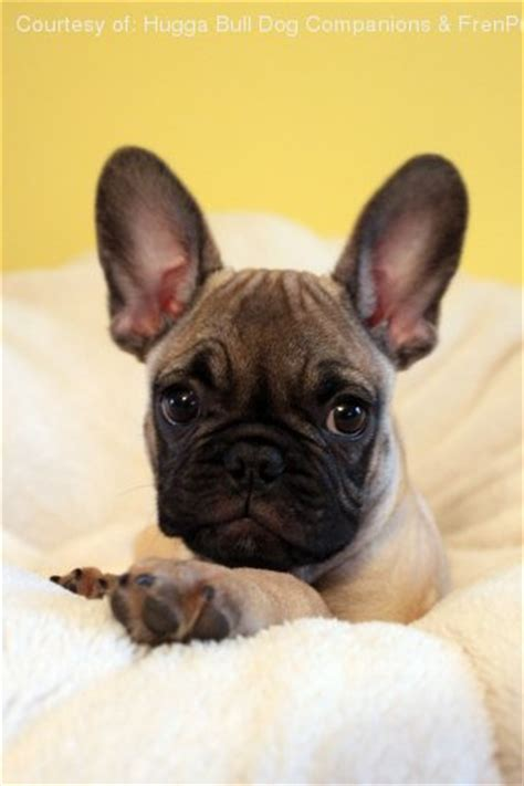 frenchie pug for sale frenchie pug pictures