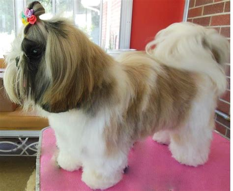 list of shih haircut 17 best images about shih tzu hairstyles on pinterest