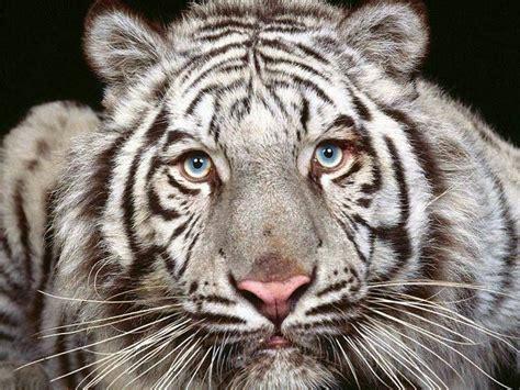 animal wallpaper  tiger  wallpaper world
