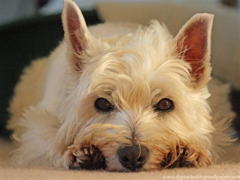 what does puppy what do westie dogs look like breeds picture