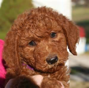 mini doodle puppies ohio goldendoodle puppies images