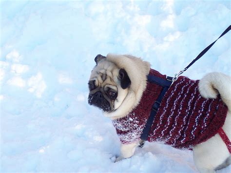 fluffy pug breed fluffy pug in a festive sweater about pug