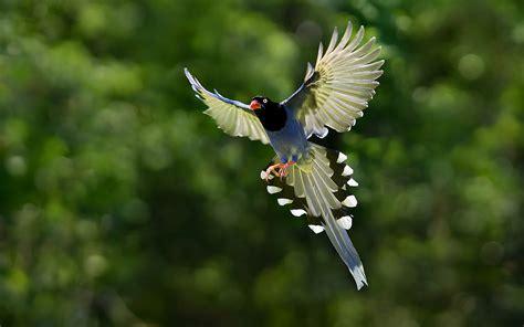 imagenes de karma bird fly taiwan blue magpie wallpaper 1920x1200 14409