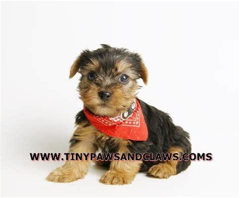 yorkie dew claws yorkie puppies in dew tx breeds picture
