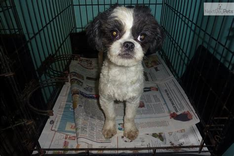 japanese chin shih tzu puppies for sale adopt taser a shih tzu puppy for shih tzu japanese chin mix