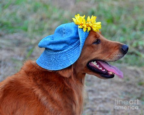 smiling golden retriever smiling golden retriever in hat photograph by catherine sherman
