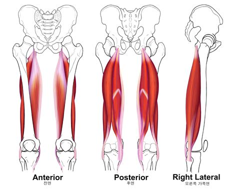hamstring muscles diagram diagram of your leg muscles posterior shoulder and arm