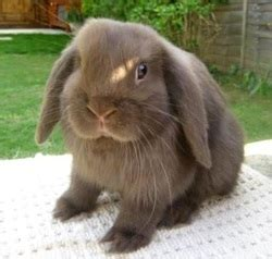breed guide bunnies  home
