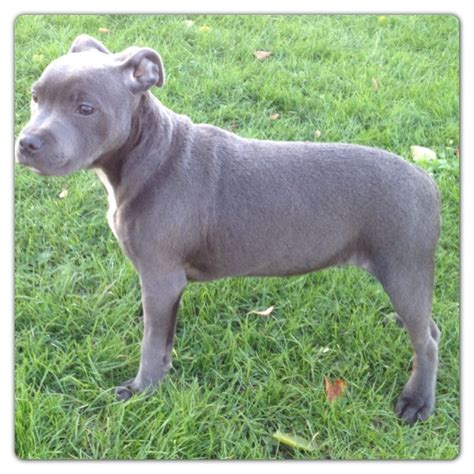 blue staffy top quality solid blue staffy pups kc registered south east pets4homes
