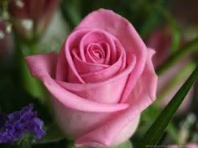Rose Flower Images by Wallpapers Of Flowers Rose Flower Wallpaper