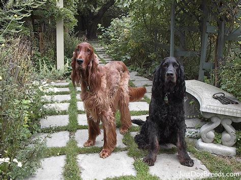 easy going breeds felix gordon setter breeds