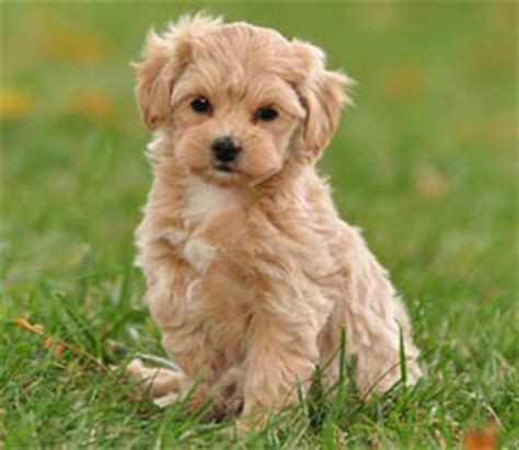 pooton puppies poo ton breed information and pictures on puppyfinder