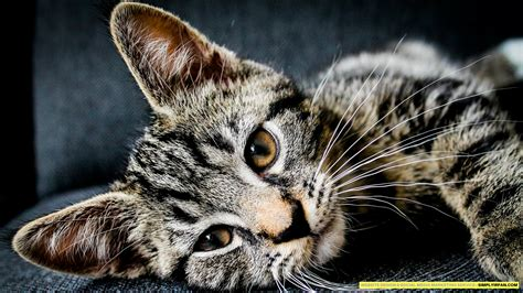 cat wallpaper home 1920x1080 cat wallpaper simplyirfan desktop pc and mac