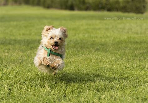 yorkie running photo session with 5 yorkies in mar ca san diego pet photographer allison