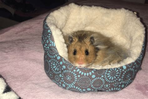 hamster bed tiny hamster has its own tiny bed simplemost