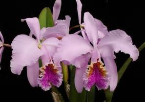 Wire Flowers - cattleya mossiae presented by orchids limited
