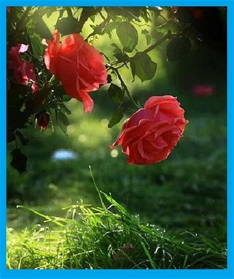 imagenes de rosas rojas para facebook fotos de rosas rojas naturales para regalar imagen de