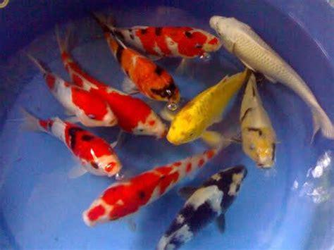 Bibit Ikan Koi Terbaik pondok ikan farm jual bibit ikan koi murah