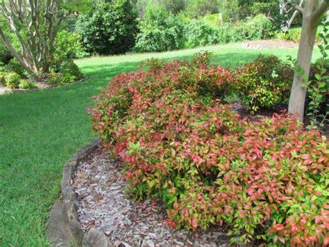 Formal Cottage Garden Ideas - dwarf nandina hello hello plants amp garden supplies