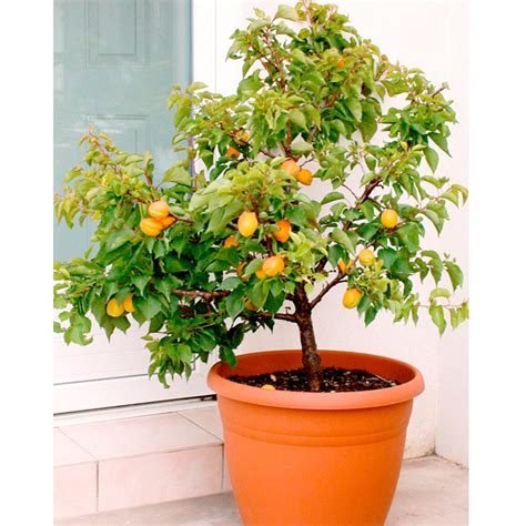 Patio Fruit Plants by Patio Fruit Tree Sibleys Apricot 1 Apricot Trees Fruit