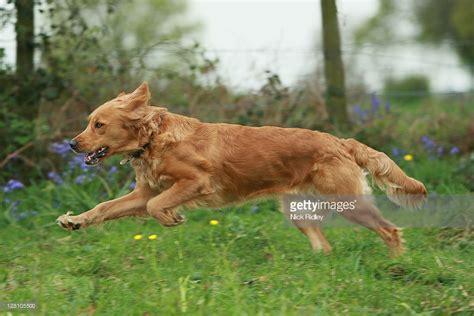 running golden retriever golden retriever running stock photo getty images